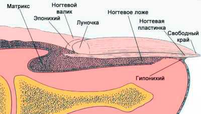 Анатомия ногтей